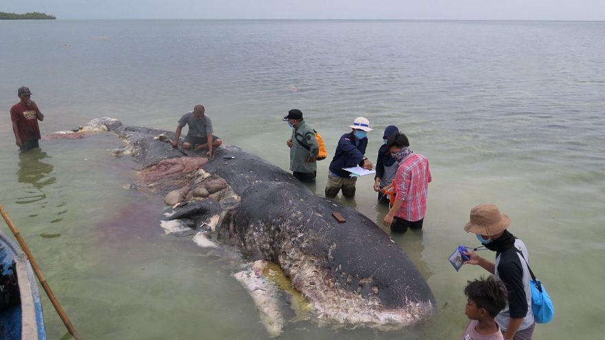 ۱۵ کیلو پلاستیک از معده نهنگ مرده در اندونزی کشف شد