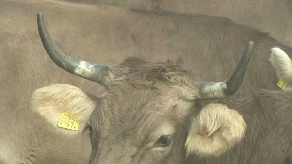 """السويسريون يصوتون للحفاظ على """"كرامة الماشية"""" أو قطع قرونها"""