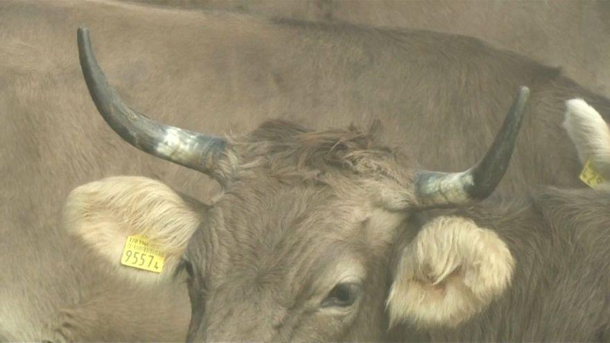سويسرا تستفتي شعبها حول ترك قرون الماشية أو قطعها