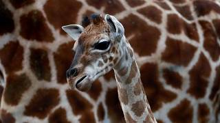 Baby giraffe Ella warming hearts at Berlin Zoo