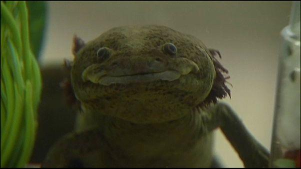 El axolote, una salamandra mágica en vías de extinción