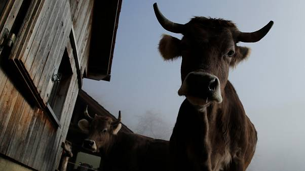 Votation en Suisse : pour ou contre les vaches à cornes?