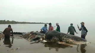 Toter Wal mit sechs Kilo Plastik im Bauch gefunden