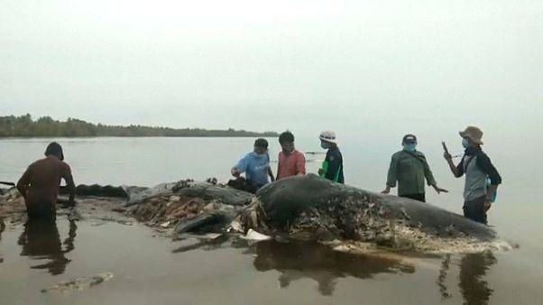 Una ballena aparece muerta con 6 kilos de plástico