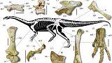 Brezilya'da, yeni bir dinozor türüne ait iskeletler bulundu