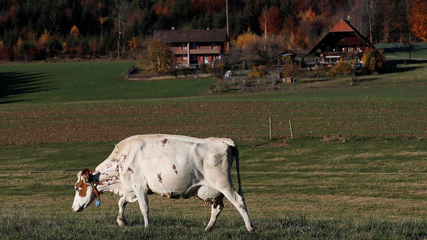 A hornless cow grazes in a field at Stefan Gilgen-Studer's farm in Oberwan