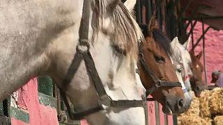تربية الخيول تحتضر في الجزائر بسبب إهمال السلطات وتخليها عن السلالة العربية البربرية