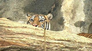 Berliner Tigerbabys schnuppern Frischluft
