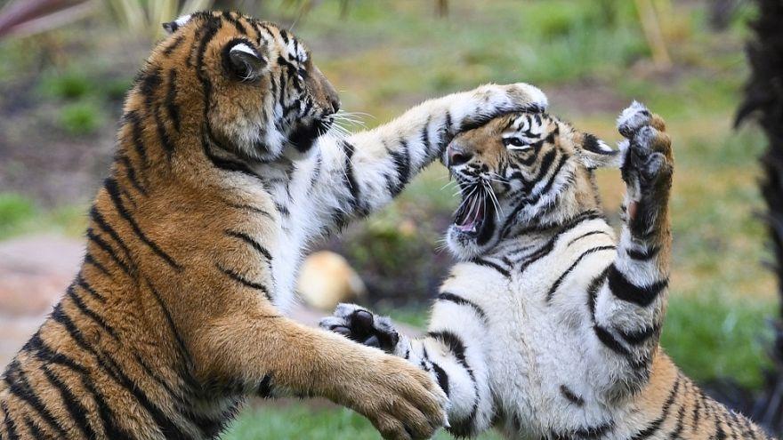 Βερολίνο: «Πρώτη» για τέσσερις σπάνιες τίγρεις Σουμάτρας