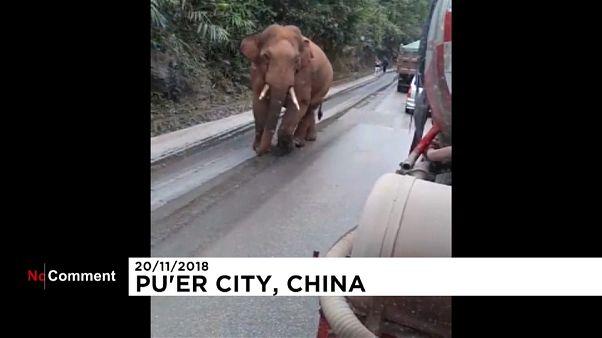 Ελέφαντας κάνει...εφόδους σε αποθήκη σιταριού στην Κίνα