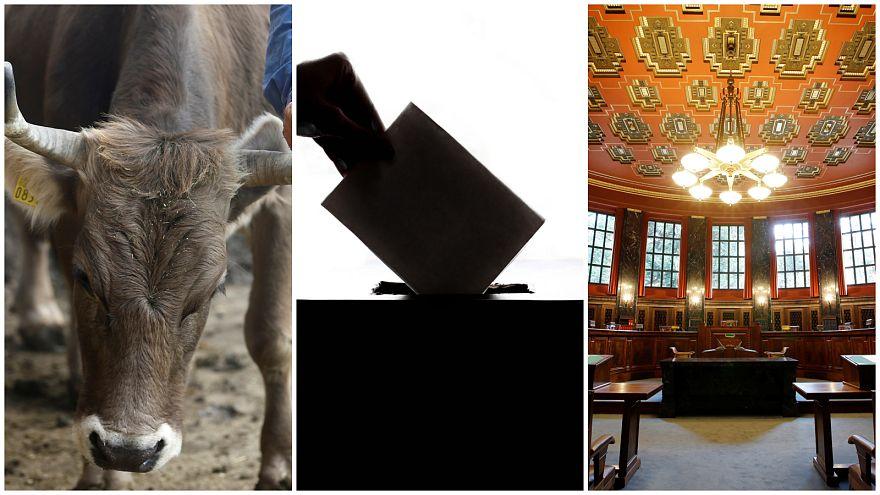 İsviçre'de referandum: Boynuzlar ve yasalar için karar günü