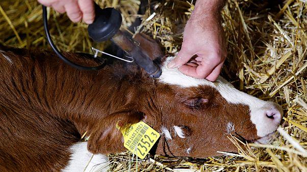 نتیجه همهپرسی سوئیس در مورد بریدن شاخ گاوها و بزها مشخص شد