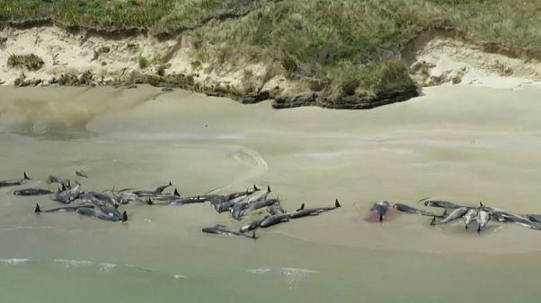 شاهد: نفوق جماعي لـ 145 حوتا مرشدا على سواحل جزيرة نائية في نيوزلندا