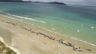 В Новой Зеландии на пляж массово выбросились чёрные дельфины