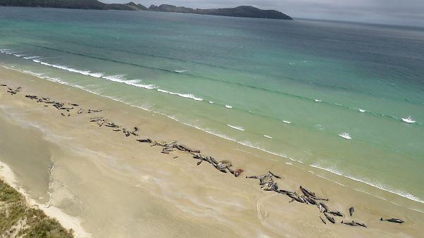 Περίπου 150 μαυροδέλφινα ξεβράστηκαν σε ακτή στη Νεα Ζηλανδία
