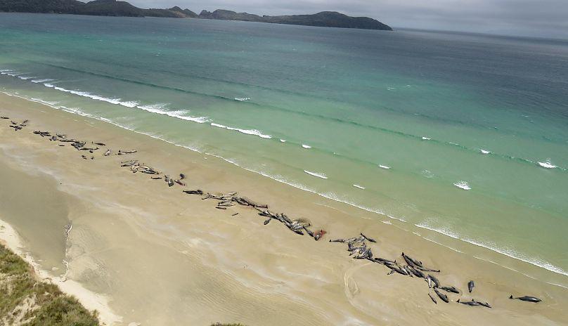Diario: Mueren 145 ballenas piloto en una playa remota de Nueva Zelanda