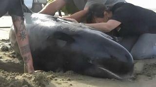 Αγώνας υπηρεσιών και εθελοντών στη Ν.Ζηλανδία για τη διάσωση φαλαινών