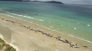خودکشی دستهجمعی ۱۴۵ نهنگ در سواحل نیوزیلند
