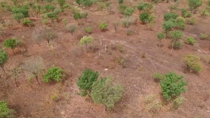 """La girafe de Kordofan """"en danger critique d'extinction"""" pourrait être sauvée grâce aux drones"""