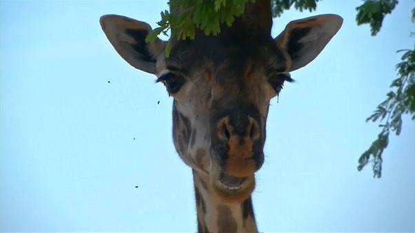 Kamerun: Wie Drohnen künftig Giraffen schützen