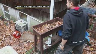 ABD'de kafası kraker kutusuna sıkışan geyiğin yardımına görevliler yetişti