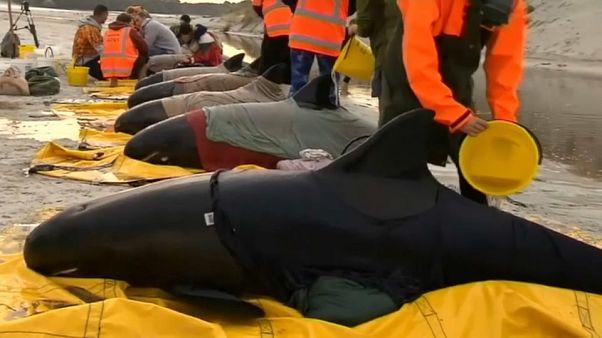 نیوزیلند؛ تلاش برای نجات نهنگهایی که خود را به ساحل رساندهاند