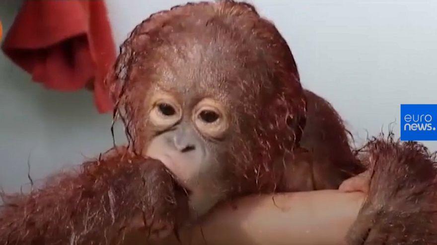 شاهد: صغير الأورانغوتان اليتيم يستمتع بحمام منعش في إندونيسيا