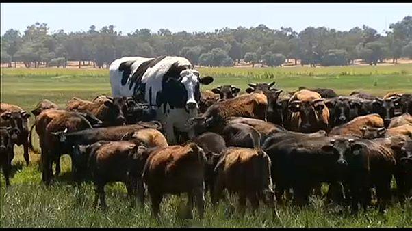 Αγελάδα έτοιμη για...μπάσκετ