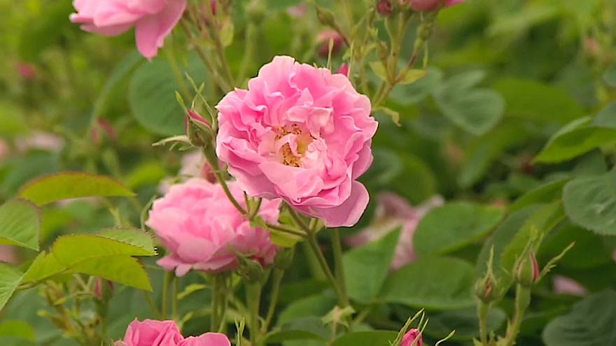 I profumi della rosa diventano patrimonio dell'umanità