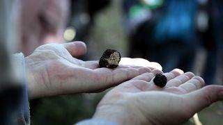 Η κλιματική αλλαγή απειλεί να αφανίσει την τρούφα