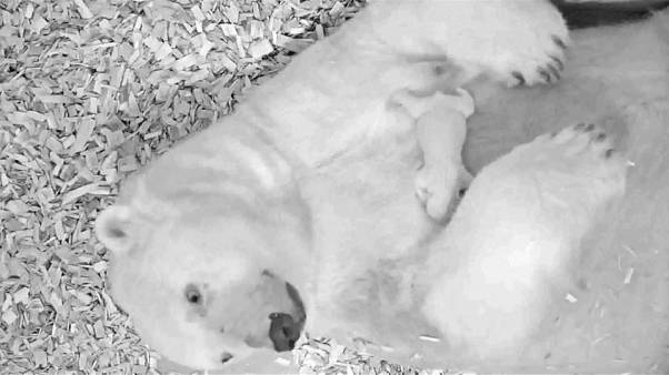 Berlin begrüßt neues Eisbärenjunges: Überlebenschance bei 50 Prozent
