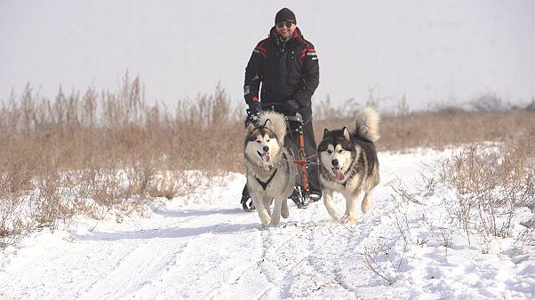 Fejlődik a kutyaszánhúzás Kazahsztánban