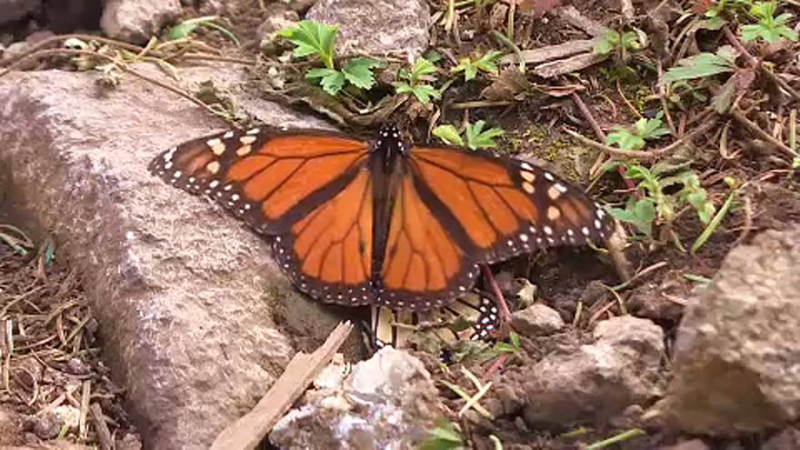 'Migrant' monarch butterflies arrive in Mexico for winter