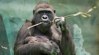 Goriller bulmaca çözerken hile yaptı
