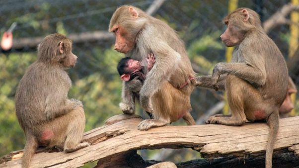 """شاهد: حديقة حيوانات أوكلاند تستقبل صغير البابون """"موسا"""""""