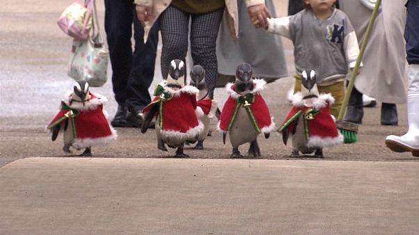 Video | Penguenler hayvanat bahçesini Noel Baba kostümleriyle dolaştı