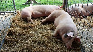 İnsanlara domuz kalbi nakli yapılması için büyük adım