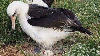 Dünyanın bilinen en yaşlı vahşi yaşam kuşu 37. kez anne oldu