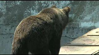 Ρουμανία: Αρκούδες κυκλοφορούν και κάνουν επιθέσεις παρά τον χειμώνα