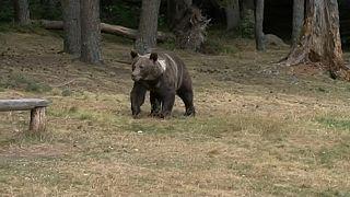 Los osos siembran el pánico en el norte de Rumanía