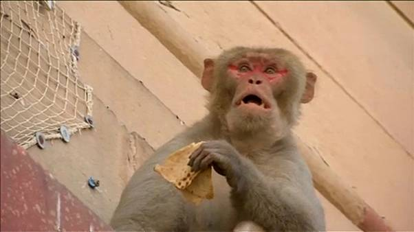 Majmok terrorizálják Indiát