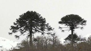 Menaces sur les pins millénaires du Chili