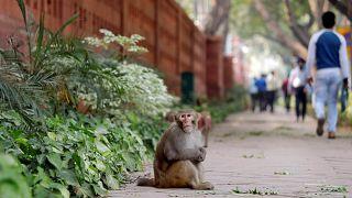 شاهد: قرود المكاك تتحدى الحكومة الهندية قبيل الانتخابات