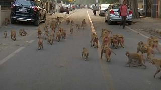 Monkey business affecting government affairs in New Delhi
