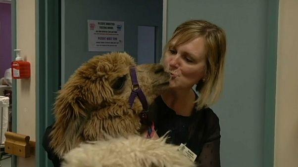 Australien: Diese Alpakas heilen Patienten