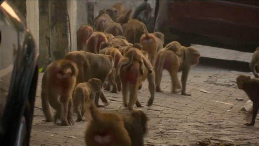 Hindistan'da büyüyen suç örgütü: Hırsız maymunlar