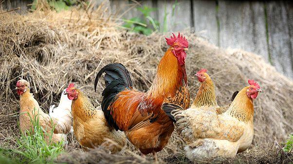Ζούμε στην «Εποχή του Κοτόπουλου», λένε οι επιστήμονες