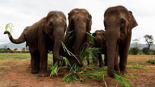 Kamboçya'da 3.2 ton ağırlığında rekor kaçak fildişi ele geçirildi