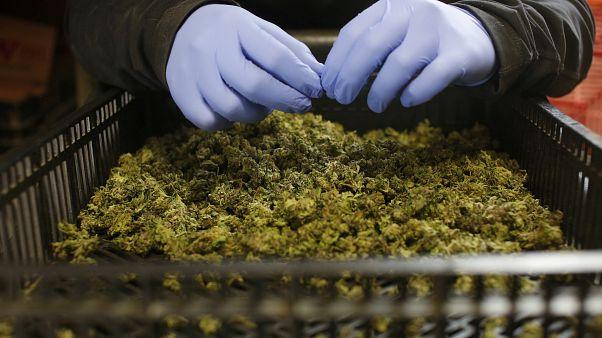 Népszavazást tartanak Új-Zélandon a marihuána legalizálásáról