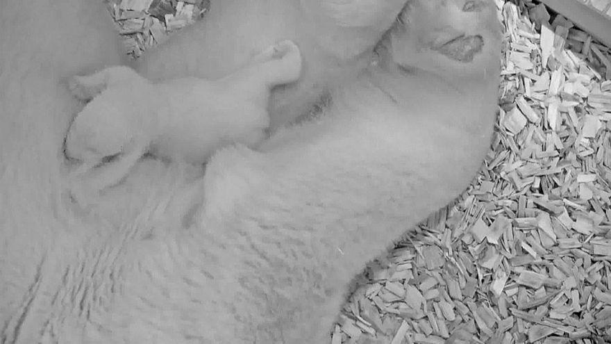 Zoo de Berlim revela imagens de cria de urso polar